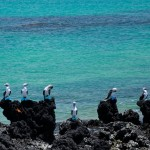 Isabela Blue Footed Boobies